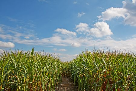 zea: Path through a field of corn (Zea mays) with blue sky and white clouds