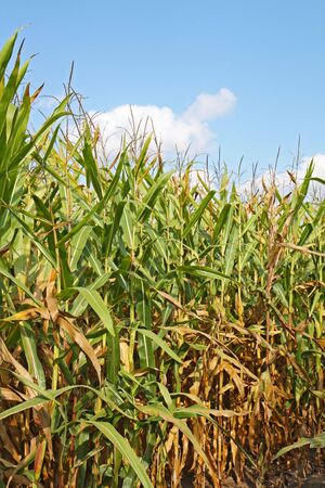zea: Stalks of corn (Zea mays) in a field with blue sky and white clouds vertical Stock Photo