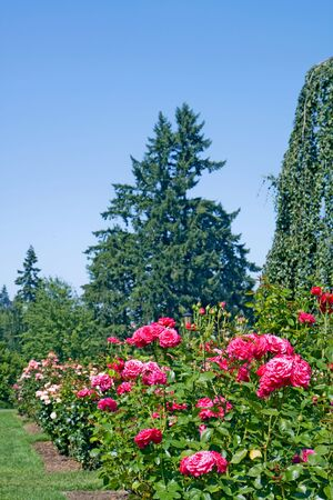 Flower beds at the National Rose Test Gardens in Portland, Oregon, with a background of evergreen trees and a shallow depth of field vertical photo