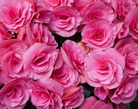 Numerous bright pink flowers of tuberous begonias (Begonia tuberhybrida) fill the frame photo