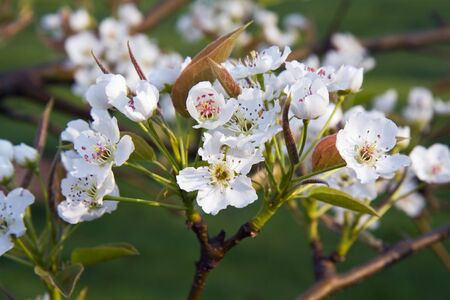 asian pear: Flowers of an Asian pear tree (Pyrus pyrifolia) in a home orchard