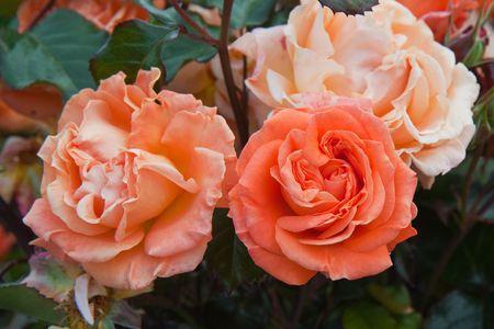 rosas naranjas: Naranjas flores de un arbusto de modernos híbridos de rosas  Foto de archivo