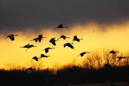 canadensis: Migrating sandhill cranes (Grus canadensis) glide to a landing at sunset in the Jasper-Pulaski Fish and Wildlife Area near Medaryville, Indiana Stock Photo