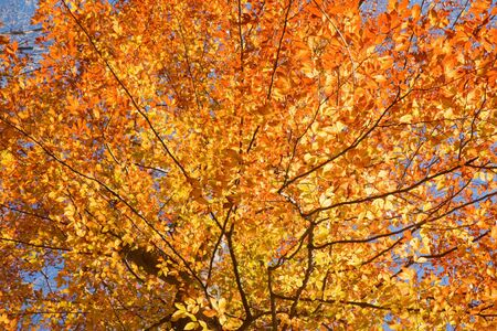 View through the canopy of an American beech tree (Fagus grandifolia) with fall leaves backlit against a bright blue sky photo