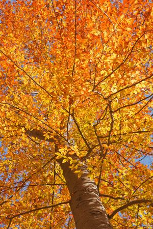 View through the canopy of an American beech tree (Fagus grandifolia) with fall leaves backlit against a bright blue sky vertical