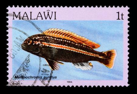 cichlid: MALAWI - CIRCA 1984:  A 1-tambala stamp printed in Malawi shows the freshwater cichlid fish Melanochromis auratus, circa 1984