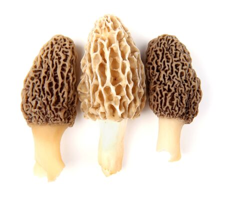 Group of one yellow and two gray morel mushrooms (Morchella esculenta) collected in a back yard in Indiana, USA, isolated against a white background
