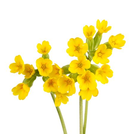 Three stems with yellow flowers of the cowslip (Primula veris) isolated against a white background