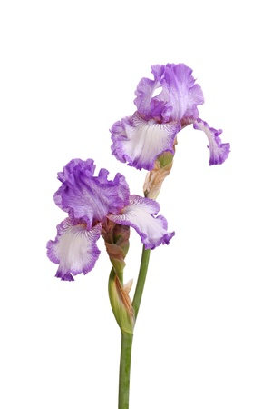 Stem of two purple and white plicata flowers of bearded iris (Iris germanica) isolated against a white background Stock Photo - 9667700