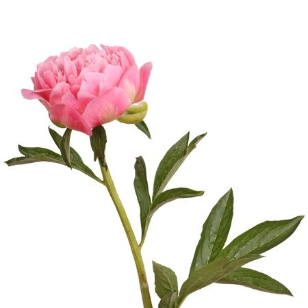 One double flower, stem and leaves of a a pink peony (Paeonia lactiflora) against a white background photo