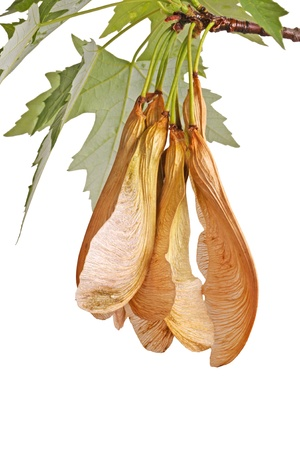 silver maple: Spring branch of a silver maple (Acer saccharinum) with a cluster of samaras hanging down isolated on white Stock Photo