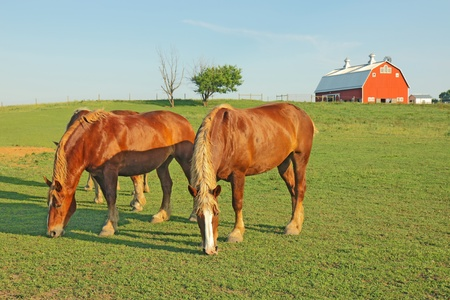 Several Belgian draft horses graze on a farm at Prophetstown State Park, Tippecanoe County, Indiana, with green grass and blue sky