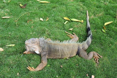 guayaquil: Land iguana (Iguana iguana) in Bolivar Park, also known as Seminario Park (Parque Bolivar or Seminario) or Iguana Park, in front of the cathedral near the center of downtown Guayaquil, Ecuador