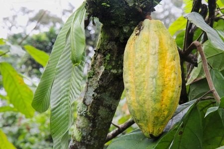 Ripening pod of Arriba cacao growing on a tree of Theobroma cacao on an organic plantation in southern Ecuador horizontal.  Arriba cacao is native to Ecuador and is thought to produce some of the best tasting chocolate in the world. photo