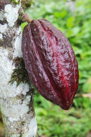 frijoles rojos: La maduración de la vaina de cacao Arriba en un árbol de Theobroma cacao en una plantación orgánica en el sur de Ecuador. Arriba cacao es originario de Ecuador y se cree que producen algunos de los de chocolate de mejor sabor en el mundo.