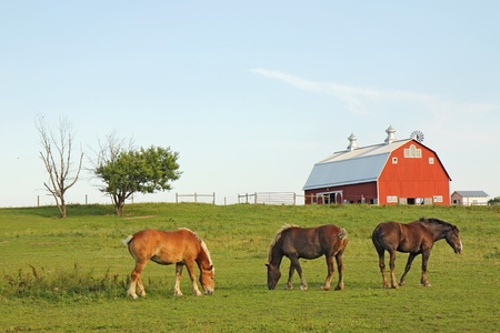 Three Belgian draft horses graze on a farm at Prophetstown State Park, Tippecanoe County, Indiana, with green grass and blue sky Stok Fotoğraf