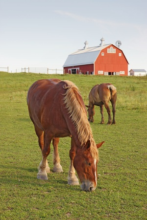 Two Belgian draft horses graze on a farm at Prophetstown State Park, Tippecanoe County, Indiana, with green grass and blue sky vertical
