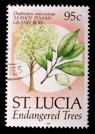franked: SAINT LUCIA - CIRCA 1990: A 95-cent stamp printed in the island nation of Saint Lucia shows the plant, leaves and fruit of the endemic endangered tree mahot piman grand bois, Daphnopsis macrocarpa, circa 1990