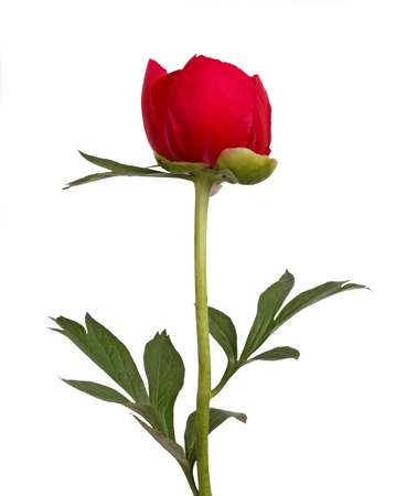 One single flower, stem and leaves of a a red peony (Paeonia lactiflora) against a white background Foto de archivo