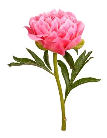 Una flor doble con gotas de agua, tallo y hojas de una peonía rosa (Paeonia lactiflora) sobre un fondo blanco.