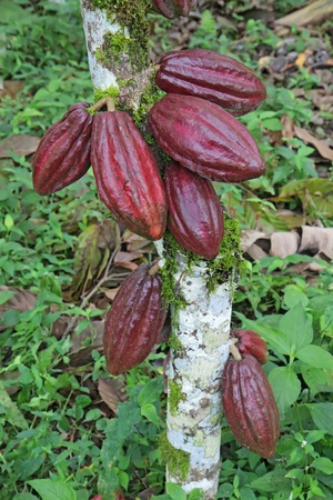 Ripening red pods of Arriba cacao growing on a tree of Theobroma cacao photo