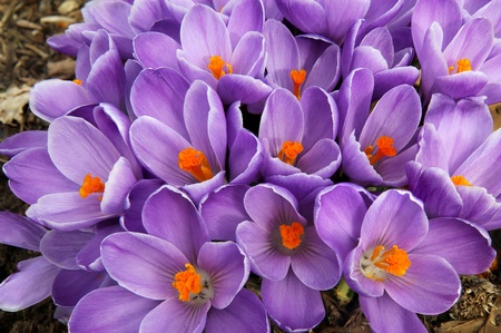 clump: Clump of purple crocus flowers fills the frame in early spring