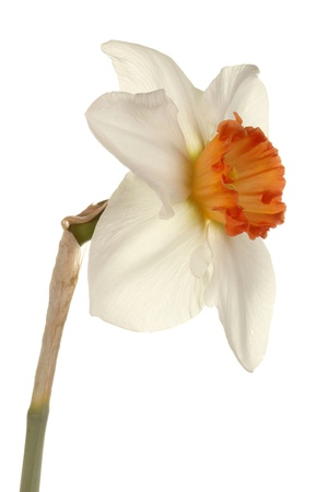 Quarter view of a single flower and stem of the small-cup daffodil cultivar Pink Rim against a white background photo