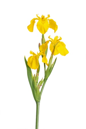 Stem with three flowers of the European yellow flag Iris pseodacorus isolated against a white background