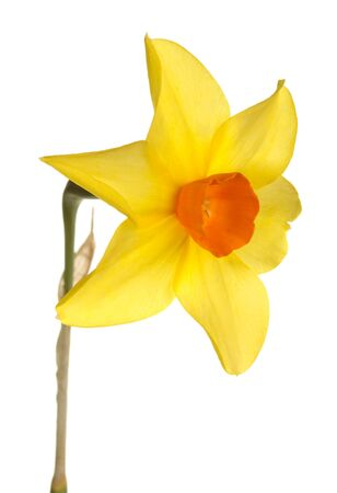 Quarter view of a single stem with an orange and yellow  flower of daffodil cultivar Starbrook isolated against a white background Stock Photo - 13349896