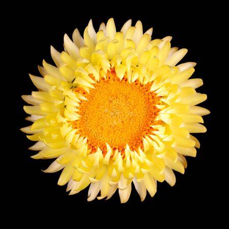Simple fleur jaune de l'Immortelle, Helichrysum bracteatum, isolé sur un fond noir Banque d'images - 13349897
