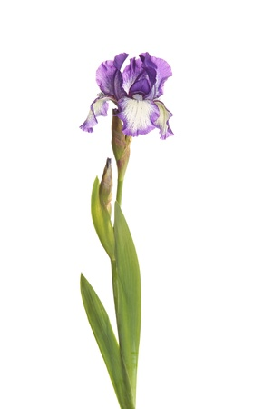 흰색 배경에 대해 격리 bearded 아이리스 아이리스 germanica 두 열지 않은 꽃 봉오리의 보라색과 흰색 plicata 꽃과 줄기 스톡 콘텐츠