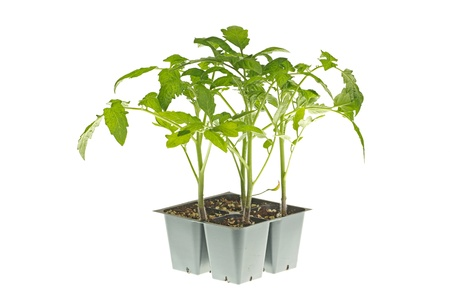 transplanted: A pack of four tomato seedlings  Solanum lycopersicum or Lycopersicon esculentum  ready to be transplanted into a home garden isolated against a white background Stock Photo