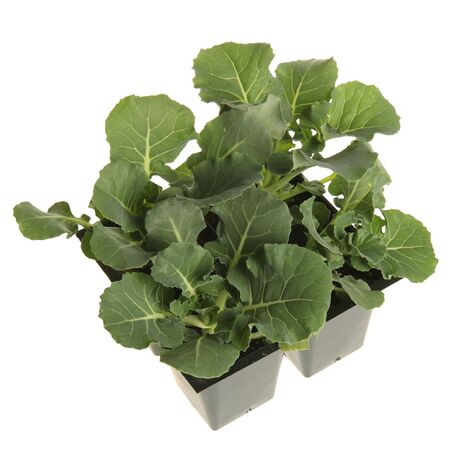 A pack of four broccoli seedlings ready to be transplanted into a garden Imagens