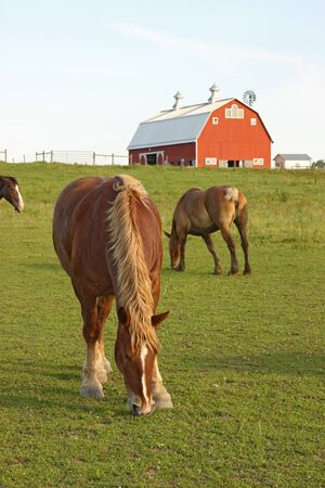 belgian horse: Belgian draft horses graze on a farm at Prophetstown State Park, Tippecanoe County, Indiana, with green grass and blue sky vertical