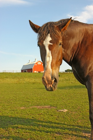 A Belgian draft horse stares at the camera on a farm at Prophetstown State Park, Tippecanoe County, Indiana, with green grass, red barn and blue sky vertical photo