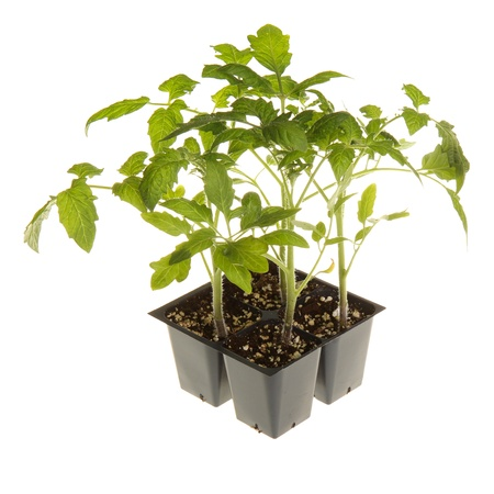 A pack of four tomato seedlings  Solanum lycopersicum or Lycopersicon esculentum  ready to be transplanted into a home garden isolated against a white background Stockfoto
