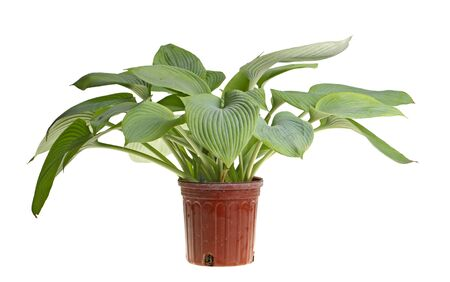 ange gardien: Grande plante de bleu-feuilles cultivar hosta Ange Gardien dans un pot en plastique rouge isol� sur blanc
