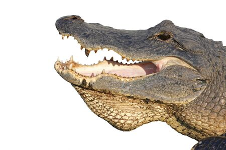 alligator eyes: Open mouth of an American alligator (Alligator mississippiensis) isolated against white Stock Photo