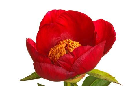 붉은 모란 품종 버마 루비와 흰색 배경에 대해 격리 노란색 꽃밥의 단일 꽃 스톡 콘텐츠