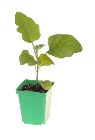 A single seedling of an eggplant  Solanum melongena  ready to be transplanted into a home garden isolated against a white background