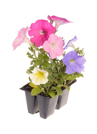petunia: Pack containing seedlings of petunia plants flowering in multiple colors ready for transplanting into a home garden isolated against a white background Stock Photo