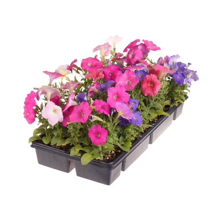 transplanting: Flat containing seedlings of petunia plants flowering in multiple colors ready for transplanting into a home garden isolated against a white background