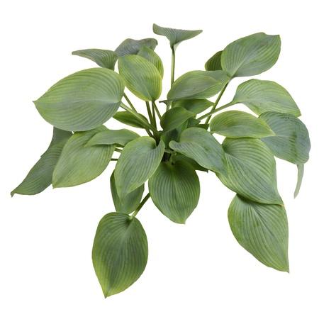 ange gardien: Grande plante de bleu-feuilles cultivar hosta Ange Gardien isol� contre le blanc