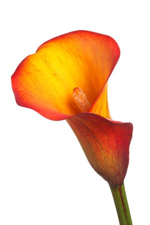arum: Single flower and stem of an orange and yellow calla lily  Zantedeschia  isolated against a white background Stock Photo