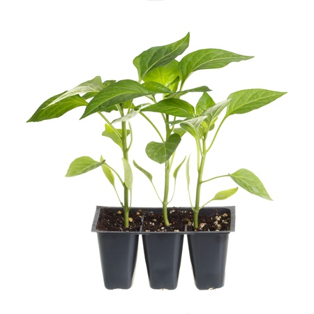 Plastic pack containing three seedlings of sweet pepper  Capsicum annuum  ready for transplanting into a home garden isolated against a white background photo