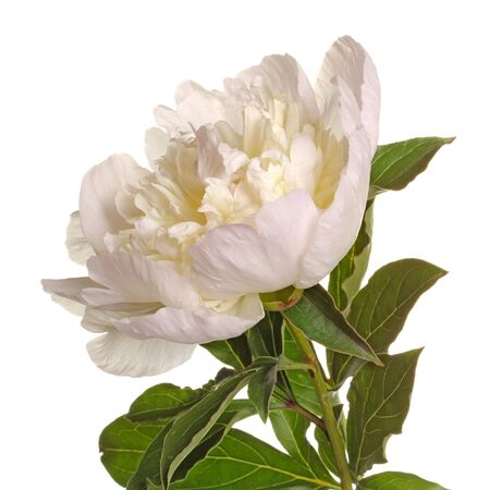 Stem, leaves and flower of a white, anemone-type peony against a white background square Foto de archivo