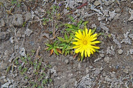 volcano slope: A bright yellow flower of achicoria (Hypochaeris sessiliflora) and other wildflowers growing on a dry rocky slope near the Cotopaxi volcano in the Andean highlands of Ecuador