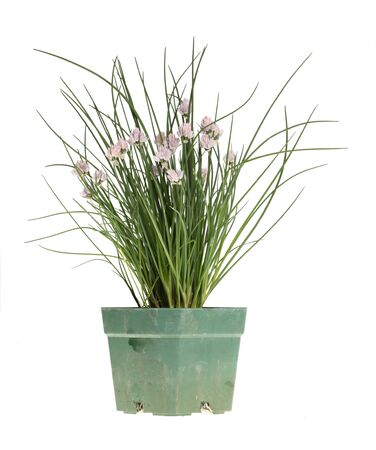 Clump of chives (Allium schoenoprasum) with purple flowers in a dirty green plastic pot photo
