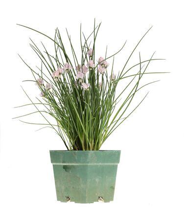 cebollin: Macizo de cebollín (Allium schoenoprasum) con flores de color púrpura en una maceta de plástico verde sucio