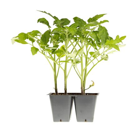 Side view of a pack of four tomato seedlings (Solanum lycopersicum or Lycopersicon esculentum) ready to be transplanted into a home garden isolated against a white background photo